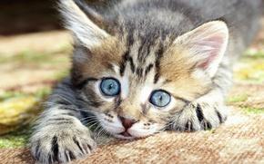 Wallpaper muzzle, kitty, blue eyes