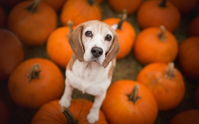 Wallpaper pumpkin, Beagle, dog