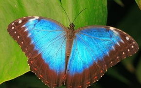 Picture leaves, blue, butterfly