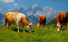 Picture the sky, grass, landscape, mountains, cow, meadow, Alps