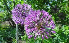 Picture purple, spring, ball, fluffy, decorative garlic