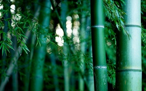 Picture nature, bamboo grove