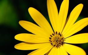 Picture macro, flowers, yellow, background, Wallpaper, petals, widescreen, full screen, HD wallpapers, flower, widescreen