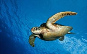 Picture sea, water, the ocean, Turtle, underwater world