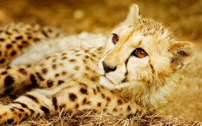 Picture predator, Cheetah, wild cat
