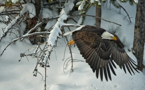 Wallpaper winter, snow, trees, bird, wings, hawk, Bald eagle