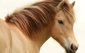 Picture eyes, horse, horse, mane