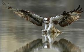 Wallpaper nature, bird, Osprey