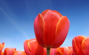 Wallpaper Tulips, Red, The sky