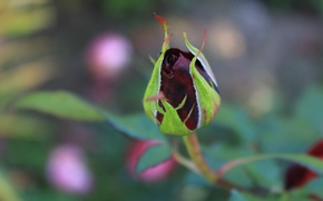 Picture greens, flowers, red, black, rose, Bud, Burgundy