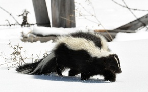 Picture snow, predator, tail, striped, skunk