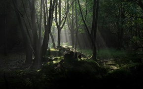 Picture forest, trees, the rays of the sun