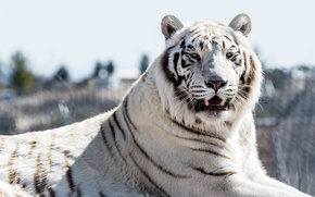 Picture cat, look, white tiger