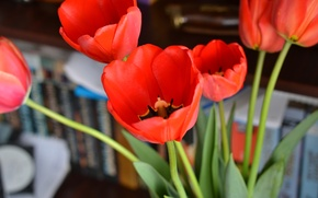 Picture flowers, Tulips, red