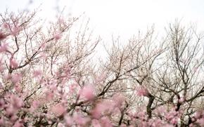 Picture trees, flowers, branches, pink, spring, Sakura, flowering