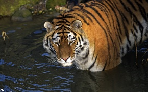 Picture cat, look, water, tiger, Amur