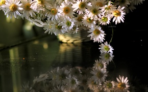 Picture flowers, chamomile, otrozhenie