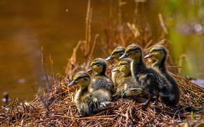Picture ducklings, Chicks, brood