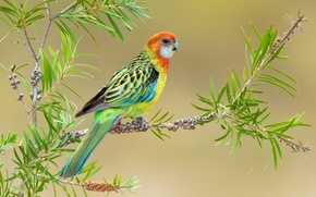 Picture bright, branch, parrot, Rosella