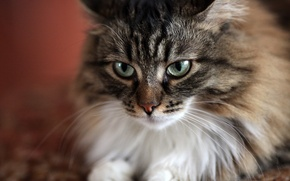 Picture cat, eyes, Musya