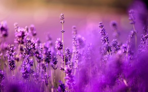Wallpaper lavender, bokeh, all purple, all lilac