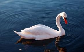 Wallpaper Swan, lake, water, reflection, bird