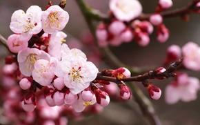 Wallpaper flowers, branch, cherry, nature, Sakura, buds, white, petals, flowering, pink, spring