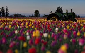 Picture field, flowers, tractor, tulips, colorful, plantation