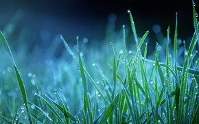 Picture grass, drops, blue, nature, Rosa, blue
