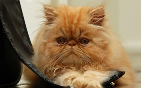 Picture cat, cat, look, muzzle, red, fluffy, red cat, Persian cat