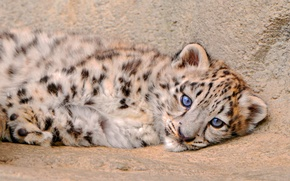Picture fluffy, lies, IRBIS, snow leopard, kitty, looks
