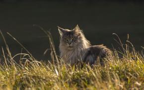 Picture cat, grass, cat, look