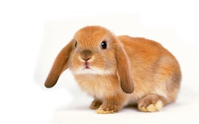 Wallpaper white, background, rabbit, beige