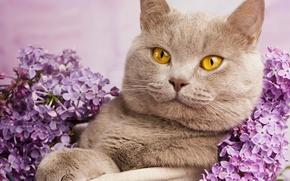 Wallpaper cat, cat, portrait, lilac, British Shorthair