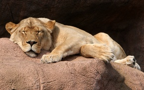 Picture cat, stay, stone, sleep, lioness