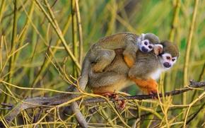 Wallpaper family, monkey, monkey, nature