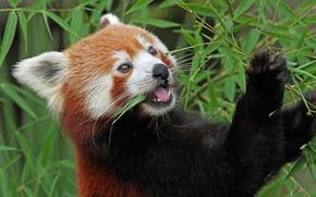 Picture bamboo, red Panda, firefox, red Panda