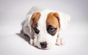 Picture puppy, pit bull, boxer, pitbull boxer mix