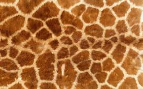 Picture background, Wallpaper, texture, giraffe, skin, fur