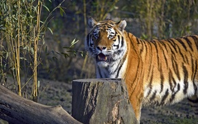 Picture cat, tiger, stump, log, Amur