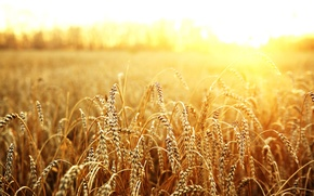 Picture wheat, field, the sun, macro