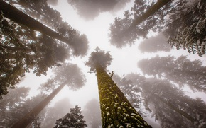 Picture United States, Fog, Forest, Trees, sequoia, Sierra Nevada, rainforest, Sequoia National Park