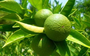 Picture Nature, Tropics, Fruit, Green, Lime
