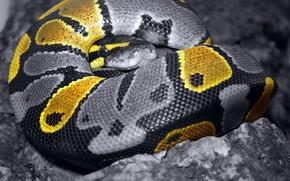 Wallpaper color, Snake, 157, grey, scales