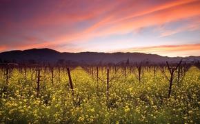 Wallpaper vineyard, the sky, field, clouds