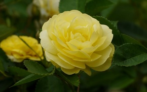 Wallpaper macro, rose, Bud, yellow rose