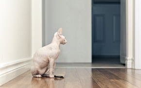 Picture cat, house, Sphinx