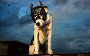 Picture roof, the sky, birds, night, clouds, the moon, dog, mask, Batman, Wallpaper from lolita777