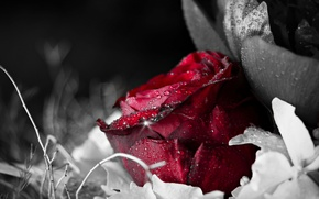 Picture water, flowers, Rosa, background, Wallpaper, black, rose, drop, wallpaper, red, widescreen, background, full screen, HD …