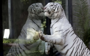 Picture look, glass, tiger, reflection
